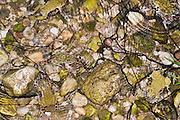 many pairs of copulating European green toad (Bufo viridis or Pseudepidalea viridis) in a pond, with strings of toads Spawn Photographed in Israel in February
