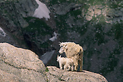 Mountain goat mom and kids, near Summit Lake, Mt. Evans Colorado