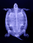 X-Ray of a Red-Eared Slider Turtle (Trachemys scripta elegans).