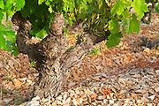 Chateau de Lascaux, Vacquieres village. Pic St Loup. Languedoc. Cinsault vine variety. Tourtourelle area. Terroir soil. France. Europe. Vineyard.