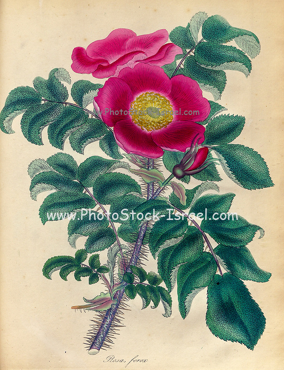 ROSA ferox, Fierce or Hedge-Hog Rose From the book Roses, or, A monograph of the genus Rosa : containing coloured figures of all the known species and beautiful varieties, drawn, engraved, described, and coloured, from living plants. by Andrews, Henry Charles, Published in London : printed by R. Taylor and Co. ; 1805.