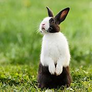 Judi - Dutch Rabbit