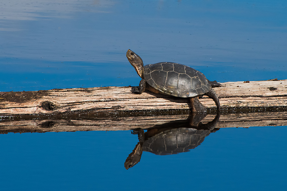 A western pond turtle basks in the sun on a beautiful California day on Lower Klamath Lake near the Oregon border. Listed as a vulnerable/threatened species, these small turtles are slow-growing, often maturing at around 10 years old and are taking a hard hit from invasive bird and animal species - especially bullfrogs and bass.