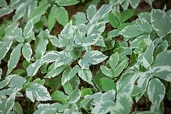 Aegopodium podagraria 'Variegatum' - Variegated ground elder.