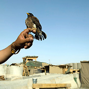 """An Afghan soldier at an Afghan Strong Point in Zhari District, Kandahar Province, Afghanistan holds a pet bird known to them as a """"Mina"""" which is a common pet amongst Afghan security forces. They clip the wings so the bird can't fly away.<br /> July 5, 2008<br /> The Canadian Press Images/Louie Palu<br /> CANADIAN SALES AND USE ONLY. NO INTERNATIONAL SALES OR USE."""