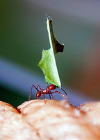 leaf cutter ants  at zsl London zoo photos by Brian Jordan