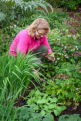 Planting foxgloves to fill gaps in a border. Digitalis purpurea.