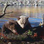 Grizzly bear spring cubs. Captive Animal
