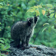 Raccoon, (Procyon lotor) Young female devouring chokecherries on rock in woods.Summer.   Captive Animal.