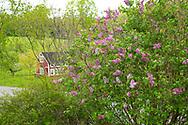 Syringa vulgaris at Firefly Farm, Hauverville, New York, U.S.A.