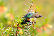 Photo Randy Vanderveen       <br /> Nyunwge National Forest, Rwanda<br /> A northern double-collared sunbird (Cinnyris reichenowi) feeds on the blossoms of a shrub in the Nyungwe National Forest in Rwanda.