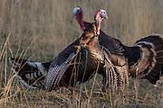Merriam's Turkey gobblers during spring in Wyoming fighting