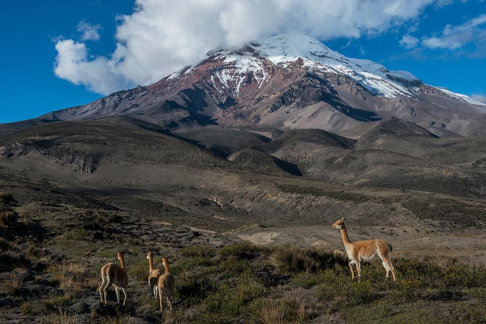 Vicuña (Vicugna vicugna) & Chimborazo Volcano<br /> wild South American camelid<br /> Chimborazo Forest Reserve<br /> Andes<br /> ECUADOR, South America<br /> Habitat & range: High alpine areas of Andes, Argentina, Peru, Argentina, Bolivia, Chile & Ecuador