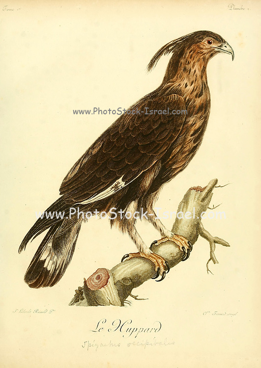 Huppard The long-crested eagle (Lophaetus occipitalis) is an African bird of prey. Like all eagles, it is in the family Accipitridae. It is currently placed in a monotypic genus Lophaetus. Bird of Prey from the Book Histoire naturelle des oiseaux d'Afrique [Natural History of birds of Africa] by Le Vaillant, François, 1753-1824; Publish in Paris by Chez J.J. Fuchs, libraire .1799