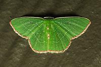 Red-Bordered Emerald (Nemoria lixaria). Lady Lake Florida USA