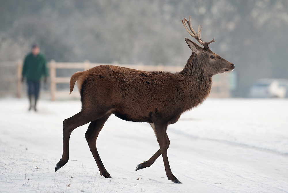 """London December 23rd  A deer standing in icy Richmond Park on December 23rd .The Met Office has issued several warnings of """"widespread icy roads"""" for most of England, Scotland and Northern Ireland. ....***Agreed Fee's Apply To All Image Use***.Marco Secchi /Xianpix. tel +44 (0) 771 7298571. e-mail ms@msecchi.com .www.marcosecchi.com"""