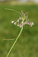 FIELD GARLIC Allium oleraceum (Liliaceae) Height to 1m<br /> Perennial of dry, grassy places. FLOWERS are whitish and bell-shaped, with stamens not protruding; long-stalked and borne in open heads with bulbils and 2 long bracts, the longest 15-20cm long (Jul-Aug). FRUITS are capsules. LEAVES are slender and semi-circular or rounded and channelled in cross-section. STATUS-Widespread but local.