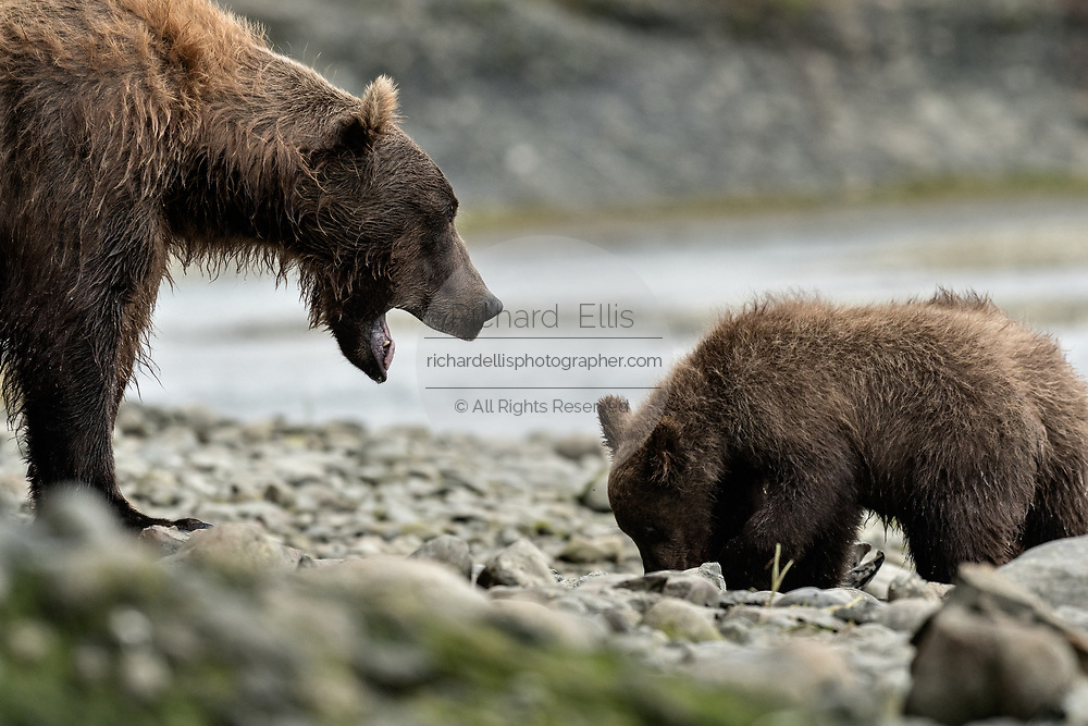 A brown bear sow known as Bearded Lady huffs a warning noise to her cubs feeding on salmon at the McNeil River State Game Sanctuary on the Kenai Peninsula, Alaska. The remote site is accessed only with a special permit and is the world's largest seasonal population of brown bears in their natural environment.