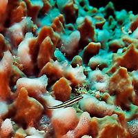 Cleaning Goby, Elacatinus genie, (Böhlke & Robins, 1968), Grand Cayman