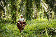 A smallholder farmer harvests palm oil on her plantation in Ukui, Riau Province, Indonesia, on 15 June 2015. This area has become dominated by palm oil production, and some smallholder farmers have formed co-operatives to share costs, increase access to markets, and become certified by the Roundtable on Sustainable Palm Oil. He is part of Amanah, a local cooperative that has helped over 400 farmers become RSPO certified - reducing their use of pesticides and fertilizers, increasing yields, and improving farm management.