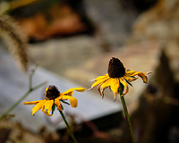 Black-eyed Susan. Image taken with a Fuji X-H1 camera and 200 mm f/2 lens + 1.4x teleconverter