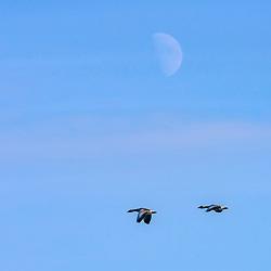 """Ganso-bravo (Anser anser) fotografado na Alemanha, na Unição Européia - Europa. Registro feito em 2016.<br /> ⠀<br /> <br /> ENGLISH: Greylag Goose photographed in Germany, in European Union - Europe. Picture made in 2016.""<br /> <br /> ""Lua (satélite natural) fotografado na Alemanha, na Unição Européia - Europa. Registro feito em 2016.<br /> ⠀<br /> <br /> ENGLISH: Moon photographed in Germany, in European Union - Europe. Picture made in 2016."""