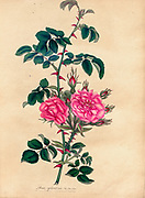 ROSA Eglanteria, Var. flore pleno. Double Sweet Briar or Eglantine Rose From the book Roses, or, A monograph of the genus Rosa : containing coloured figures of all the known species and beautiful varieties, drawn, engraved, described, and coloured, from living plants. by Andrews, Henry Charles, Published in London : printed by R. Taylor and Co. ; 1805.