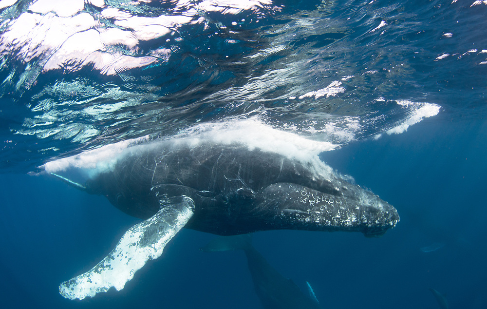 Humpback whales (Megaptera novaeangliae) migrating off the coast of Cabo San Lucas, Mexico.
