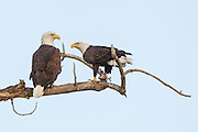 Stock photo of bald eagles captured in Colorado.  The bald eagle is an oppurtunistic feeder.  90 percent of it's diet is fish,  birds and small mammals.  They will also take fish from osprey as well.