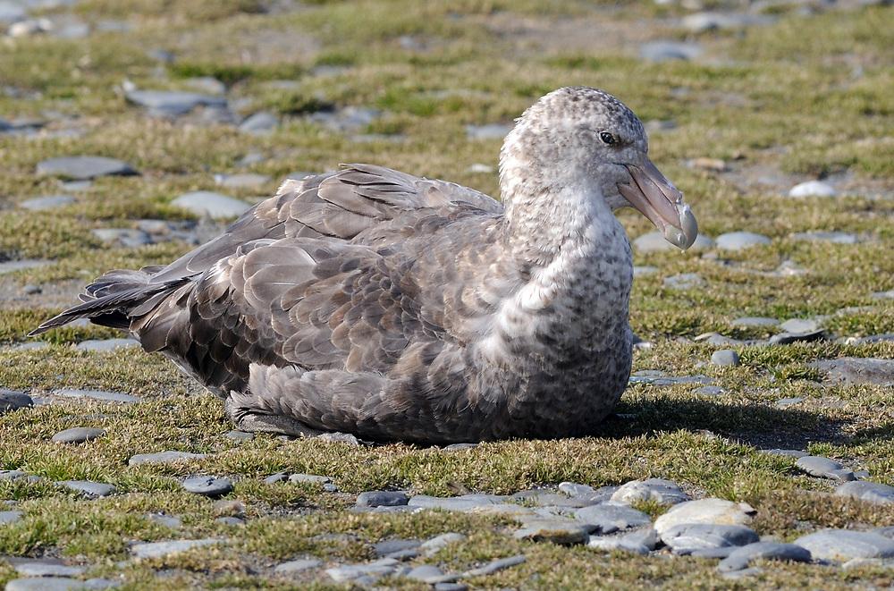 A Southern Giant Petrel (Macronectes giganteus) sits near the penguin  nesting colony. Salisbury Plain, Bay of Isles, South Georgia. 19Feb16