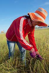 Girl Working in Rice Field