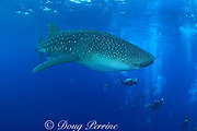 divers and whale shark, Rhincodon typus, Gladden Spit Marine Reserve, off Placencia, Belize, Central America ( Caribbean Sea )