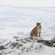 Mountain lion in the Bridger Mountains, Montana. Captive Animal