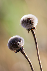 Seedheads of Helenium 'El Dorado'
