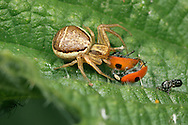 Crab Spider - Xysticus cristatus - with ladybird prey