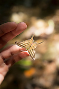 Butterfly landing on volunteer's hand, Manu National Park, Peru, South America