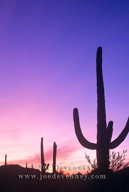 Silhouette of a Saguaro cactus at sunset