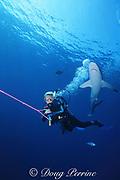 scuba diver and silky shark, Carcharhinus falciformis, Tongue of the Ocean, Bahamas ( Western Atlantic Ocean ) model released
