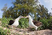 Laysan albatross, Phoebastria immutabilis, billing during courtship, Sand Island, Midway Atoll, Midway National Wildlife Refuge, Papahanaumokuakea Marine National Monument, Northwest Hawaiian Islands, USA ( North Pacific Ocean )