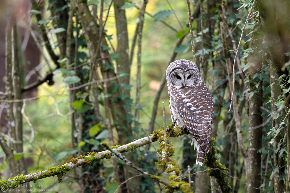 A Barred Owl (Strix varia) looks down from its perch in a backyard forest in the Fraser Valley of  British Columbia