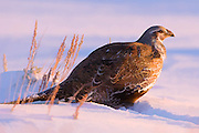 Artistic effects applied to a photograph of a sage grouse at sunrise in mid-winter.