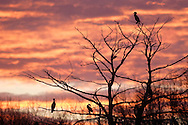 Middletown, NY -  Cormorants perched in a tree are silhouetted at sunset on April 19, 2007..