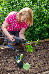 Planting out young pot grown courgettes plants into a bed in the vegetable garden - Cucurbita pepo 'Black Forest'