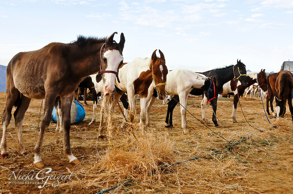 Horses eating straw at the Pushkar Fair, India. Wildlife and animal photography prints for sale. Exotic places photography wall art, stock images