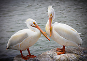 Pelicans are a genus of large water birds that makes up the family Pelecanidae. They are characterised by a long beak and a large throat pouch used for catching prey and draining water from the scooped up contents before swallowing. They have predominantly pale plumage, the exceptions being the brown and Peruvian pelicans. The bills, pouches and bare facial skin of all species become brightly coloured before the breeding season. The eight living pelican species have a patchy global distribution, ranging latitudinally from the tropics to the temperate zone, though they are absent from interior South America as well as from polar regions and the open ocean.