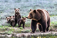 The Grand Grizzly Family of the Teton Range.   Queen of the Tetons Grizzly 399 and her four cubs. I believe this is only the seventh time in the Yellowstone eco-system documented that a sow had quadruplets.