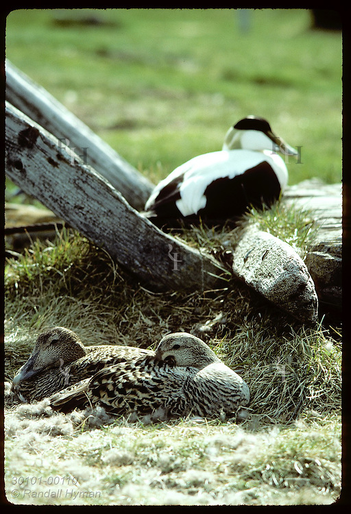 Pair of eider ducks shares nest, an exceptional case, while male sits guard; June, Vigur Island Iceland