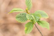 Brimstone (Gonepteryx rhamni) butterfly caterpillars  on alder buckthorn (Frangula alnus). Sussex, UK.