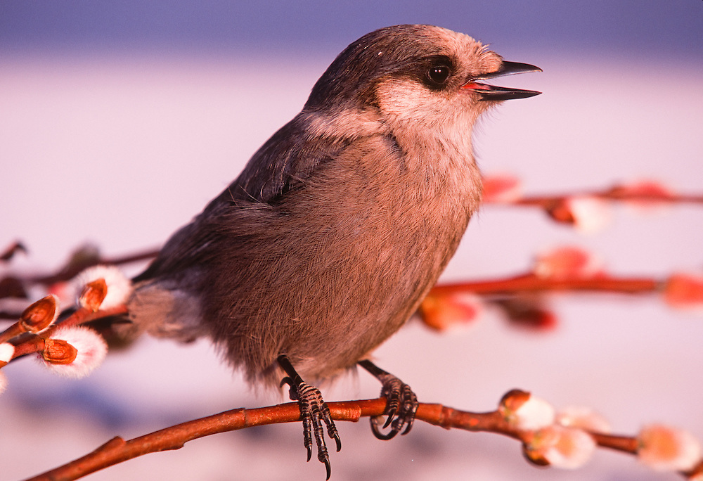 The Gray Jay, Perisoreus canadensis, is a member of the crow and jay family (Corvidae) found in the boreal forests across North America