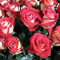 South America, Ecuador, Cayambe. Sweetness Rose arrangement displayed at Hacienda Compania.